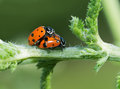 Convergent lady beetles mating on a yarrow stalk in spring Royalty Free Stock Images