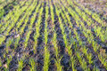 Convergent rows of young grass sprouts the newly sown comes up in fresh green blades Stock Photos