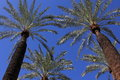 Converging palm trees looking upward below tress with partial in the background against a deep blue sky frons have Royalty Free Stock Images