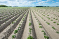 Converging ridges with young fresh green potato plants Royalty Free Stock Photo