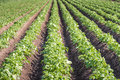 Converging rows of young potato plants seemingly endless fresh green or solanum tuberosum on a dutch field Royalty Free Stock Photography