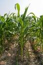 Converting corn Stock Photos