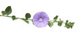 Convolvulus Royalty Free Stock Images