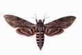 Convolvulus Hawk-moth Stock Images
