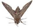 Convolvulus hawk moth agrius convolvuli gray isolated on white background Stock Photography