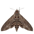 Convolvulus hawk moth agrius convolvuli gray isolated on white background Stock Photo