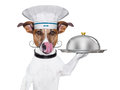 Cook dog holding serving tray cover Royalty Free Stock Image