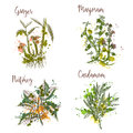 Cooking herbs and spices in watercolor style . Ginger, marjoram, nutmeg, cardamom.