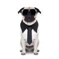 Cool dog pug looking so with fancy sunglasses and tie Royalty Free Stock Photography