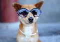 Cool dog a wearing sunglasses and pearls Stock Photos