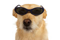 Cool dude dog wearing sunglasses adorable little sitting looking at the camera isolated on white Royalty Free Stock Image