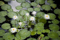 Cool pool waterlilies in pond white flowers Stock Photos