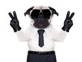 Cool pug dog looking so fancy with victory or peace fingers wearing black sunglasses Stock Photography