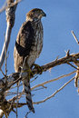 Cooper Hawk Royalty Free Stock Photo
