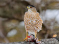 Cooper Hawk with prey Royalty Free Stock Photo