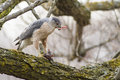 Cooper hawk s perched accipiter cooperii eating its pray Royalty Free Stock Image
