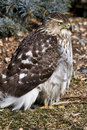 Cooper's Hawk Royalty Free Stock Images