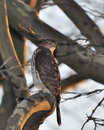 Cooper's Hawk Royalty Free Stock Photo