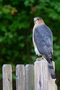 Coopers hawk fencepost with blue grey feathers and amber red eyes on bleached Stock Image