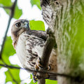 Coopers hawk perched on tree watching for small prey Stock Images