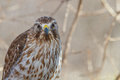 Coopers Hawk Stares At Camera