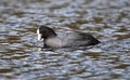 Coot catches a fish in water Stock Images