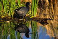 Coot and Cattails Reflected in Pond Royalty Free Stock Images