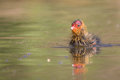 Coot chick eurasian fulica atra swimming low point of view Stock Images