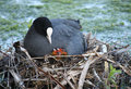 Coot with Chicks Stock Photography