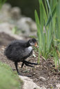 Coot fulica atra chick on grass Royalty Free Stock Photo
