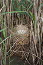 Coot ( Fulica atra ) nest with eggs Stock Images