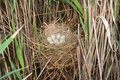 Coot ( Fulica atra ) nest with eggs Stock Image