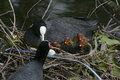 Coot fulica atra on nest with young Stock Images