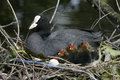 Coot fulica atra on nest with young Stock Image