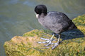 Coot fulica atra on rock at side of lake stood a the garda bardolino in italy clearly showing it s large feet Stock Photography