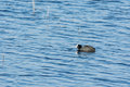 Coot on a lake common swimming in estonia Stock Images