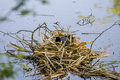 Coot on nest in middle of water Royalty Free Stock Photos