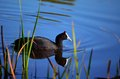 Coot in the reeds a redknobbed feeding a dam africa Stock Photography