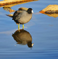Coot reflection Stock Image