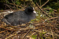 Coot a sitting on a nest made of twigs Royalty Free Stock Photos