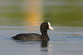 Coot swimming adult fulica atra Stock Images