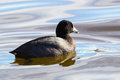 Coot swimming in the water Royalty Free Stock Photo
