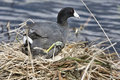 Coot or Waterhen Sitting on eggs Stock Images
