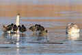 Coots and swans on frozen waters fulica atra cygnus olor standing together foraging for food in december Stock Images