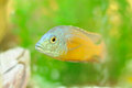 Copadichromis Fish in Aquarium Royalty Free Stock Image