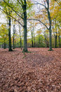 Copper colored oak leaves fallen in front of oak trees russet on the forefront now it really is autumn the woods Stock Photo
