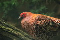 Copper pheasant the detail of Royalty Free Stock Images