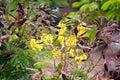Copper pod tree peltophorum pterocarpum copperpod golden flamboyant yellow flamboyant yellow flame yellow poinciana konda chinta Stock Photos