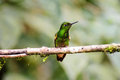 A copper rumped hummingbird resting on a branch brightly coloured Stock Photos