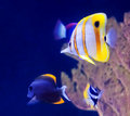 Copperband butterfly fish and other tropical in an aquarium Stock Photo